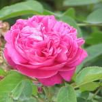 Rosa_damascena5